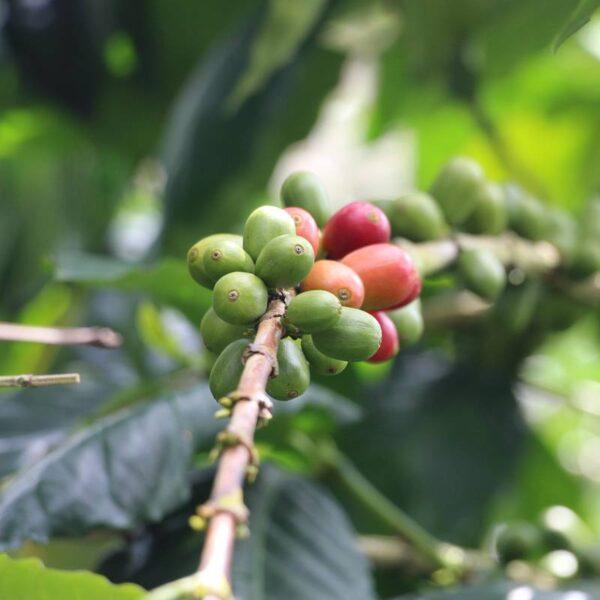 Colombia – Decaf – Regional Popayan Coffee Decaf Direct Trade Espresso Fair2Farmer Filter Fully Washed Omni Washed